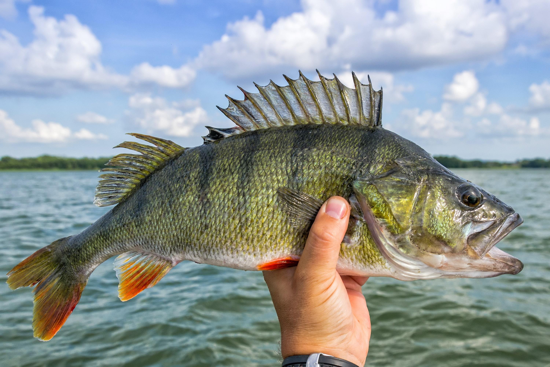 De største fiskene fanget